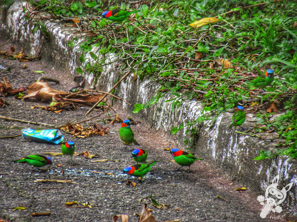 Tangará de Pescoço Vermelho - Monumento Bica d'Água | Rodovia Mogi-Bertioga - Rodovia SP-098 | FredLee Na Estrada