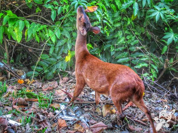 Veado-pardo - Trilha das Cataratas | Parque Nacional do Iguaçu - Cataratas do Iguaçu | Foz do Iguaçu - Paraná - Brasil | FredLee Na Estrada