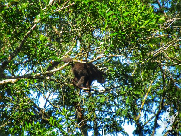 Macaco-prego - Trilha das Cataratas | Parque Nacional do Iguaçu - Cataratas do Iguaçu | Foz do Iguaçu - Paraná - Brasil | FredLee Na Estrada