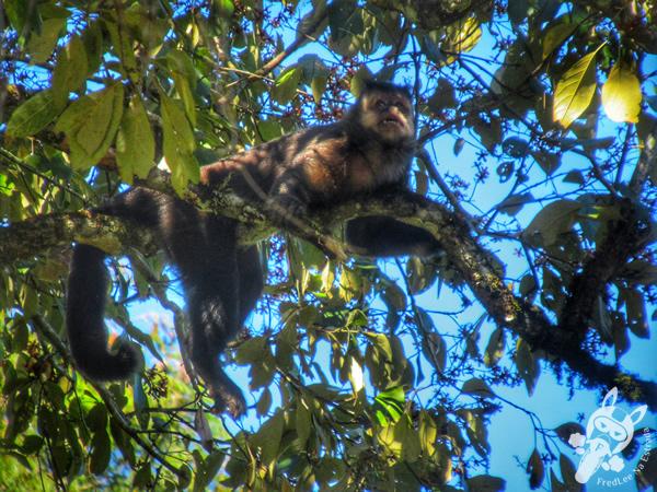 Macaco-prego   Foz do Iguaçu - Paraná - Brasil   FredLee Na Estrada