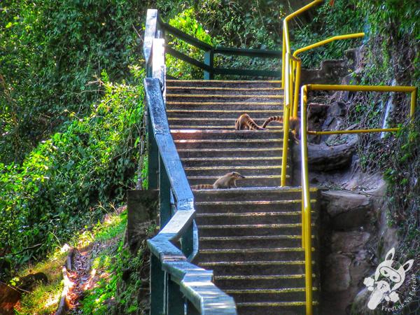 Quati - Trilha das Cataratas | Parque Nacional do Iguaçu - Cataratas do Iguaçu | Foz do Iguaçu - Paraná - Brasil | FredLee Na Estrada