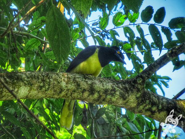 Gralha-picaça - Trilha das Cataratas | Parque Nacional do Iguaçu - Cataratas do Iguaçu | Foz do Iguaçu - Paraná - Brasil | FredLee Na Estrada